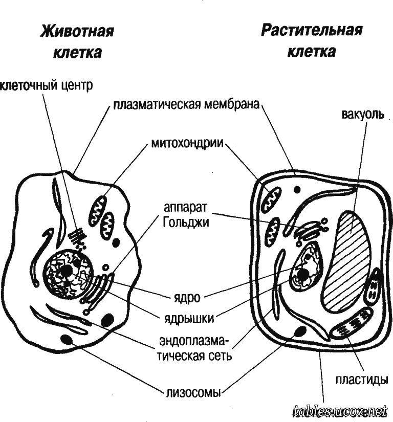 Схемы животной и растительной клетки